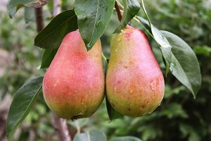 Crop of pears,Healthy Organic Pears.