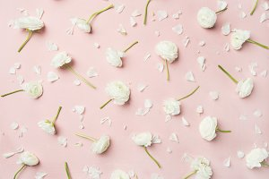 Flat-lay of white ranunculus flowers over pink background