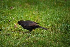 Blackbird eating worms