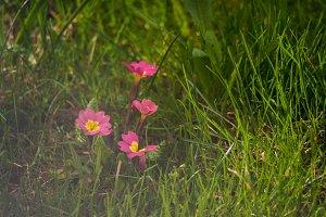 Primrose flower in the garden