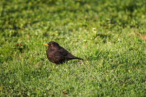 Blackbird in early morning
