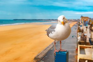 Seagull in Saint-Malo, Brittany, France
