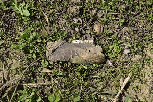 Jaw with teeth of a sheep. Remains of herbivorous animal sheep. Scattered remains