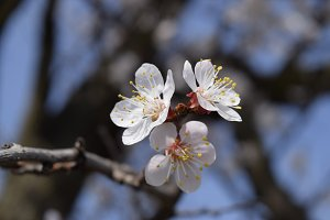Spring flowering trees. Pollination of flowers of apricot. Blooming wild apricot in the garden