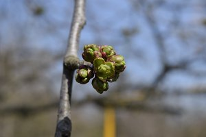 Young buds of a cherry on a branch. Blossoming cherry buds