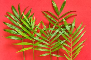 Green palm leaves on red