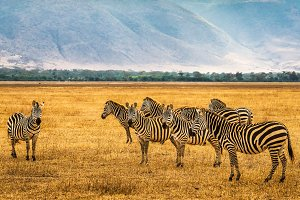 Herd of zebras in the Ngorongoro Crater