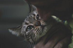 Cuddly little gray cat.