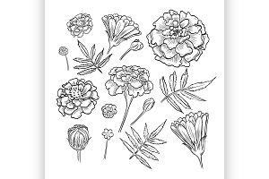 Vector hand drawn elegant marigold