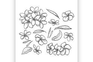 Vector hand drawn elegant plumeria