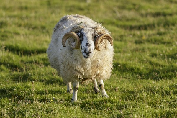 Animal Stock Photos: Brais Seara - Scottish sheep