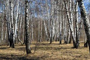 Russian landscape. Birch forest.