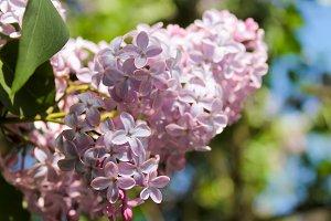 Beautiful blooming lilac Bush