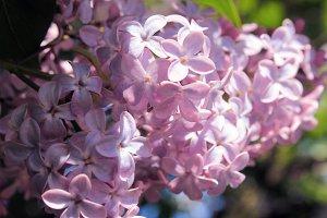 the lilac Bush