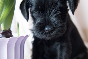 young Miniature Schnauzer puppy with flowers