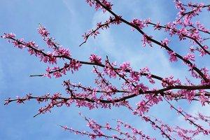 Pink Tree Flowers against blue sky