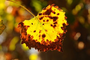 single backlit leaf with fall colors