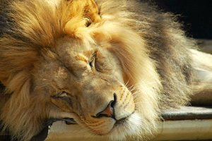 Close up of a Male Lion Sleeping