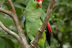 Amazon Parrot on branch of tree