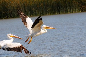 Two American White Pelicans Flight