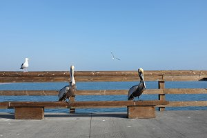 Pelicans and Seagulls on Pier