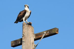 Osprey on Perch with Fish