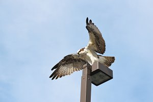 Osprey on Perch Wings Spread