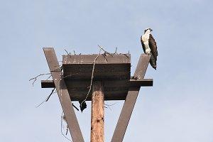 Osprey Atop Nesting Box