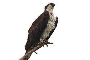 Osprey on Branch against white