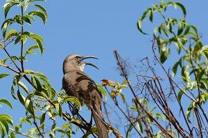 California Thrasher Beak Open