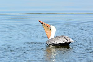 Brown Pelican Swallowing His Catch