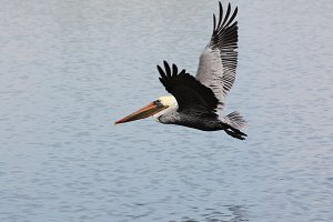 Brown Pelican in Flight Over Pond