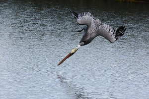 Brown Pelican Diving For Food