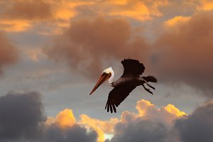 Brown Pelican Against Stormy Sunset