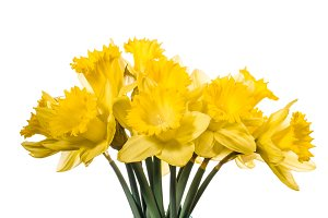 Daffodil flowers isolated on white