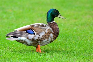 Multicolored wild duck