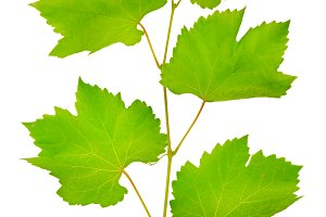 fresh grape leaves