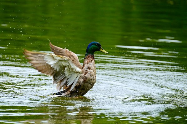 Animal Stock Photos - Wild duck