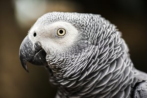 Close up of an African Grey Parrot