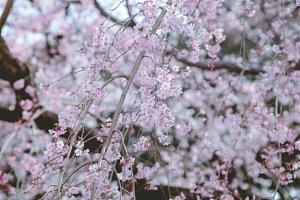 Sakura, Cherry Blossom Flowers