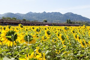 Sunflower fields and trails
