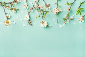 Spring almond blossom flowers over light blue background, copy space