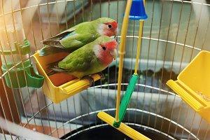 Rosy Faced Lovebird parrot