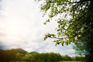 Bloming flower of the apple tree