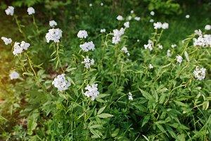 White saponaria flowering