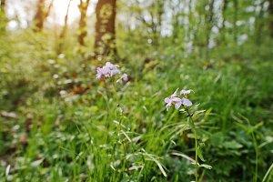 Violet saponaria flowering plants