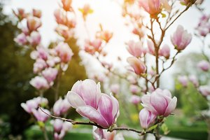 white and pink magnolia blossoms