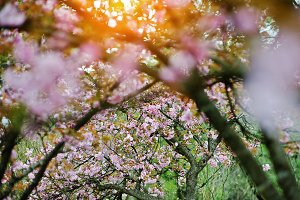 Branches of cherry tree blossoms