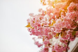 cherry tree sakura
