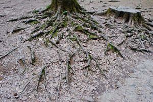 Extensive roots on forest